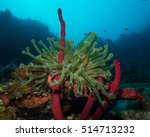 Small photo of Giant Anemone and sea rod in the deep at thirty metres 'Spreading out'