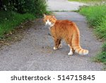 Stock photo the red cat on the street 514715845