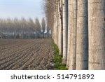 Row Of Poplar Trees In The...