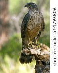 Small photo of Two months old female of Northern goshawk. Accipiter gentilis