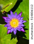 Beautiful Egyptian Water Lily ...