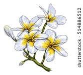 plumeria. hawaii  bali ... | Shutterstock .eps vector #514886512