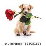 Stock photo puppy with a rose isolated on a white background 515051836