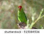 Small photo of A black-winged lovebird (Agapornis taranta) in a tree in Ethiopia.