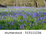 Large Carpet Of Bluebells