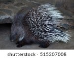 Indian Crested Porcupine ...