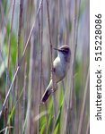 Small photo of Great Reed Warbler (Acrocephalus arundinaceus) perched on a reed, Danube Delta, Romania.