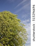Small photo of Blooming Chestnut tree (Aesculus hippocastanum) on blue sky