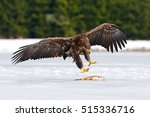 Golden Eagle With Catch Fish I...