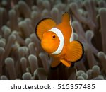 Portrait Of Anemone Fish Waving ...
