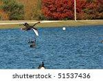 Black Swan   Cygnus Atratus  I...