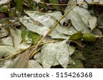 raindrops on the leaves of the... | Shutterstock . vector #515426368