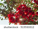 Branch With Red Ceibo Flowers...