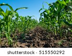 Small photo of Agriculture. Rows of young corn in agricultural land.