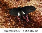 Small photo of Broad-tailed swallowtail butterfly Agehana maraho (Shiraki & Sonan, 1934 )