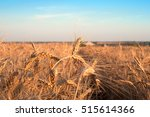gold ears of wheat close up on... | Shutterstock . vector #515614366