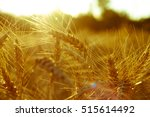 field of golden wheat ears on... | Shutterstock . vector #515614492