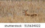 White Tailed Deer Buck Standin...