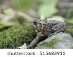 Small photo of American toad (Bufo americanus)