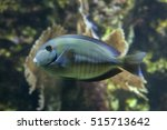 Small photo of Doctorfish (Acanthurus chirurgus), also known as the doctorfish tang.