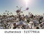 cotton crop in full bloom | Shutterstock . vector #515779816