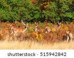 Herd Of Red Deer In Richmond...