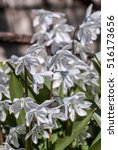 Small photo of White Squill (Scilla mischtschenkoana) in garden, Moscow region, Russia