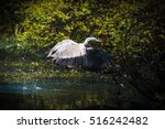 grey heron taking off to... | Shutterstock . vector #516242482