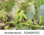 Small photo of lima bean on soil