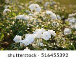 Stock photo white roses in the garden at evenning 516455392