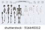 human skeleton. white and black.... | Shutterstock .eps vector #516640312