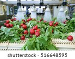radishes being washed on... | Shutterstock . vector #516648595