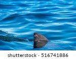 shark fin above water. closeup... | Shutterstock . vector #516741886