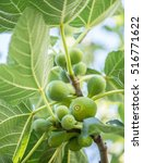ripe fig fruits on the tree. | Shutterstock . vector #516771622