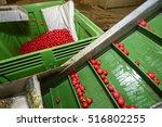 radish on conveyor belt in... | Shutterstock . vector #516802255