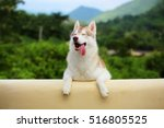 Stock photo siberian husky in grass field with mountain background happy dog dog smiling dog portrait 516805525