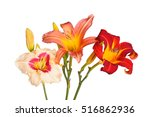 Three Daylily Flowers Of...