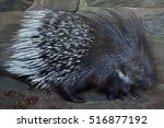indian crested porcupine ... | Shutterstock . vector #516877192