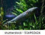 electric eel  electrophorus... | Shutterstock . vector #516902626