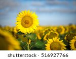 Yellow Sunflower Against The...