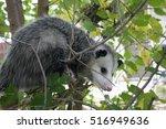 Possum In Tree