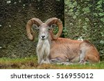 Wild Sheep Urial  Ovis...