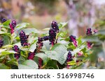 Pokeweed In Autumn Garden In...