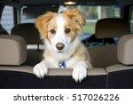 Border Collie Puppy Sitting...