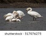 mute swan  swans   fight. | Shutterstock . vector #517076275
