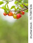 Small photo of Acerola fruit hanging from branches