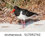 A Pied Oystercatcher On A Beac...