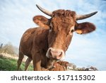 Funny Portrait Of Brown Cow On...