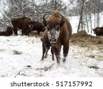 Bison Cow With Young Calf....