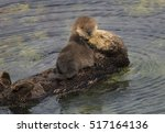 A Sea Otter Mother Grooms Her...